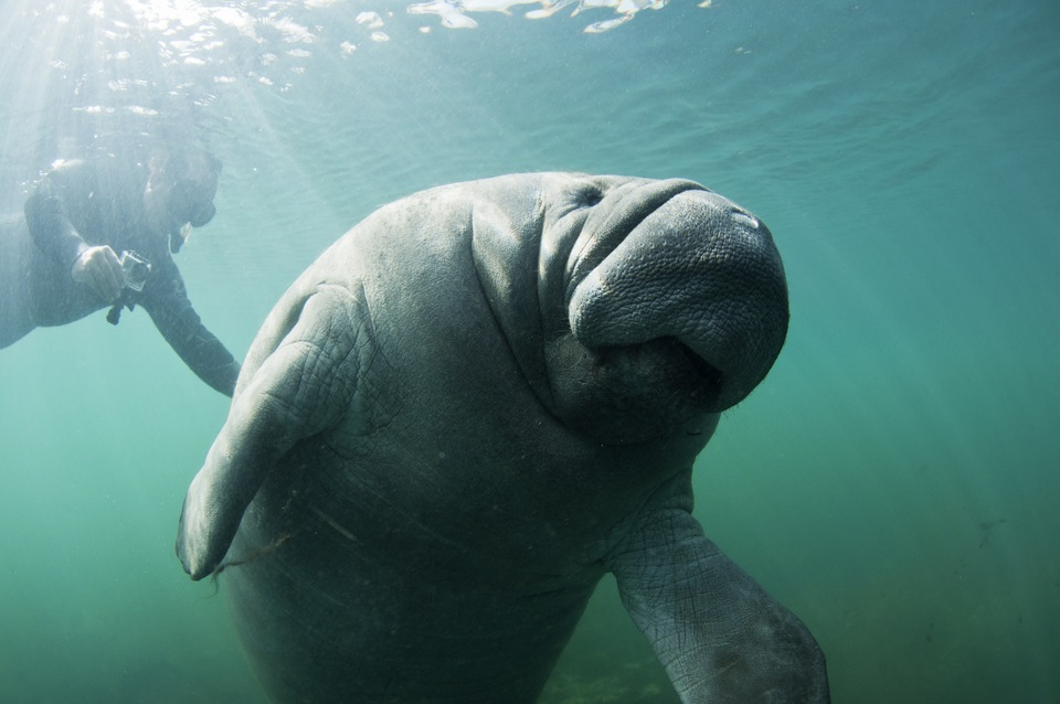 Enjoy the 31st Annual Manatee Festival